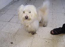 كلب فرش تيرير للبيع ذكر 10 شهور