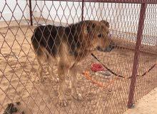 كلب جيرمن عمرة 8سنوات وحق حراسة ولعوب ومكان المعاينة العين