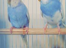 بادجي (طيور الحب) جوز جاهز بصحة ممتازه والحمدلله بسعر 200 ريال