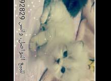 قطط للبيع الرياض