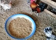 دجاج ريض