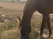 حصان فرنسي