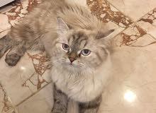قطه الاب هيمالايا والام فارسيه عمرها سنه