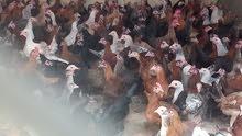 دجاج بلدي طازج للبيع