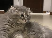 قطط سكوتش للبيع