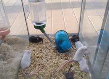 Black/White mice