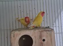 Latino Lovebirds for sale