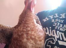 بيع دجاج ساسو تسمين أورجانيك 10000%