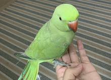Green Parrot/Indian Ringneck- Male baby- hand tamed
