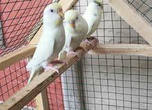 زوجين طيور حب هولنديات