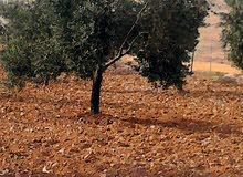 مزرعه مشجرة بالزيتون عدد الاشجار160شجره  واصل جميع الخدمات