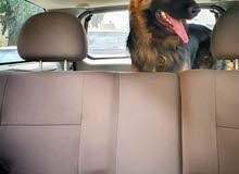 كلب كستم لونق هير  الماني  اصلي درجى اولى