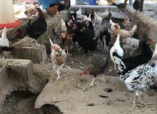 دجاج عماني للبيع.
