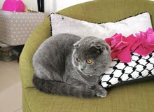 Scottish Shorthair Folded Kitten 6 Months Old with Passport, Chip & All Vaccinations