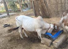 ثيران اثيوبيه مطعومات طعام الدار