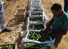 للراغبي التميز والاستثمار الزراعي مزراعه 75 فدان لبيع قابله لتجرئ