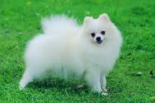 كلب بورمنيان