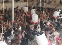 للبيع دجاج عماني بياض.        تصفيه