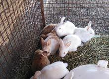 مطلوب أرانب