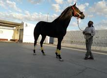 حصان أربد إنجليزي للبيع