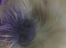 كلبة لولو شيتوس للبيع مطلوب 200 ريال قابل للتفاوض