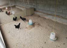 الدجاج الإندونيسي ذو اللحم الأسود