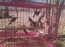 لبيع طيور حلوه التربيه زبرا عماني اصلي