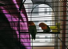 A couple of love birds for sale with the cage 500 aed