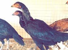 دجاج باكستاني اصل للبيع