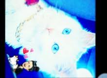 الزرقاء