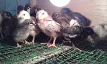 يوجد افراخ دجاج عربي للبيع