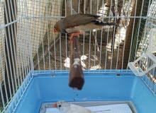 جوز طيور الجنة