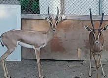 deer for sale