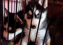 كلاب هاسكي 46 يوم للبيع