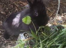 ارانب هولنديه