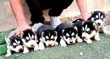 husky puppies for sale  هاسكي