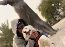 كلب هاسكي للمراوس ويه ماكس