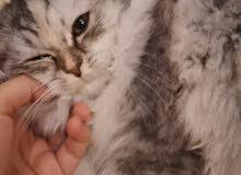 قطة انثى للبيع جده