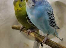 اجمل عصافير زينه عصافير استرالي