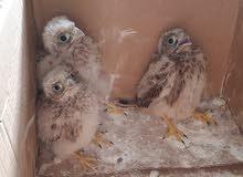 طيور جراحة للبيع