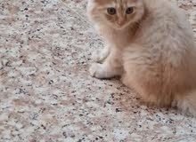 قطه بيرشن عمر ثلاث اشهر تربية بيت تاكل اكل البيت  السعر تعال خاص او اتصل 0781016