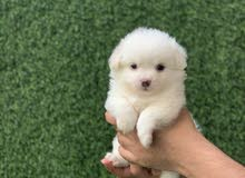 For sale Shitzu mix Pom  Nice colors and beautiful standard Age  1 month and 11 days