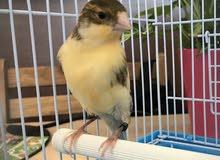 Male Canary Bird