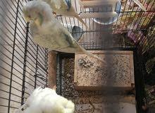 طيور زينة هوكو للبيع بسعر مغري لأول متصل