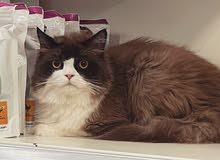 تزاوج و فندقة قطط - ذكر راغدول جممييل جداً للتزاوج