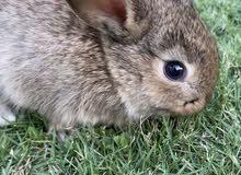 dwarf-lop-teddy bear rabbits
