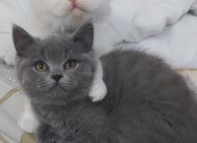 للبيع قطة برتش انثى العمر 45 يوم