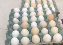 للبيع بيض بلدي للتفقيس