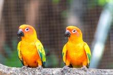 فروخ سن كنيور sun conure Chicks