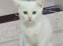 Blue eyes 2.5 month Turkish angora kitten
